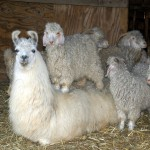 Llama and Goats owned by Mark and Nancy Roesner of Copley Ohio