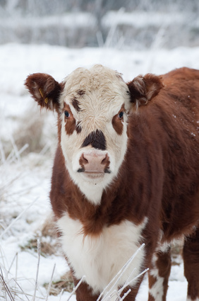 South Dakota Ranchers Lost thousands of cattle in October 2013 blizzard. Donate now.