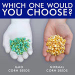 Why do farmers use genetically modified or genetically engineered seeds?