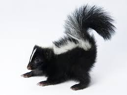 Mi casa es NOT su casa, when you are a skunk. 10 quick tips to repel the most common unwanted fall visitors. by Michelle Riley, Horticulturist @ NEOhiogarden.com