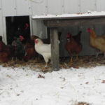 TIPS FOR KEEPING CHICKENS HAPPY & HEALTHY IN THE WINTER MONTHS  By Toni Longville